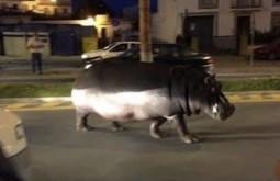 ¿Realmente corresponde esta imagen a un hipopótamo que escapó del zoológico de Chicago en medio de las protestas por la muerte de George Floyd?.... ¡Responde nuestro quiz de noticias!