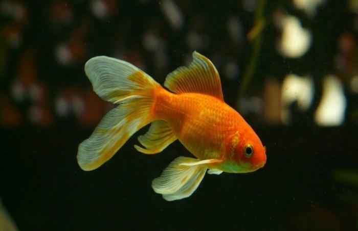 Nuestro nivel de atención actual es igual al de un pez dorado | Fotografía: Hans en Pixabay