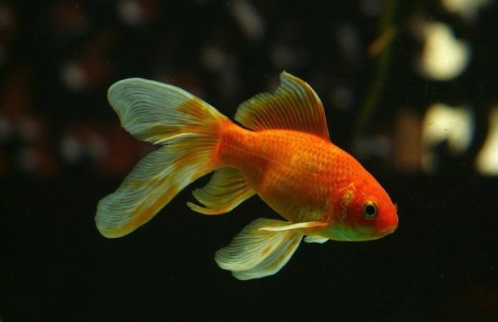 Nuestro nivel de atención actual es igual al de un pez dorado | Fotografía: Hans en Pixabay | Usada bajo licencia Creative Commons