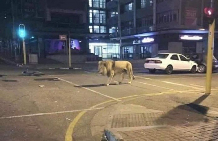 ¿Realmente Vladimir Putin ordenó soltar leones en las calles de Moscú para que la gente respete la cuarentena por coronavirus?... ¡Responde nuestro quiz de noticias!